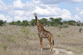 Giraffe in the savanna (Giraffa camelopardalis) — Stock Photo