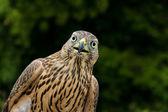 Eagle Falcon — Stockfoto
