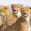 Stock Photo: Three Cheetahs in safari park