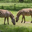 Two zebras grazing at Lake Nakuru reserve — Foto Stock