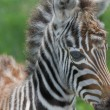 Baby zebra at Lake nakuru national reserve — Stock Photo
