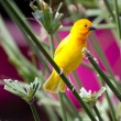 Yellow canary Serinus canaria — Stock Photo