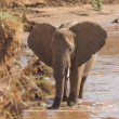 African elephant  on the banks of Uaso Nyiro River Kenya - Stock Photo