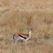 Young antelope in the Masai Mara (Thomsons gazelle) — Stock Photo
