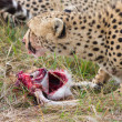Cheetah eating fresh raw meat — Stock Photo #8788548