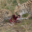 Stock Photo: Cheetahs eating fresh raw meat