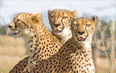 Three Cheetahs in safari park — Stock Photo
