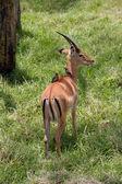 Thomson gazelle with two oxpecker birds on back — Stock Photo