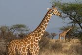 Reticulated giraffe portrait — Stock Photo
