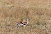 Young antelope in the Masai Mara (Thomsons gazelle) — Stock Photo