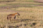 Spotted hyena hunting in Masai mara — Stock Photo