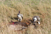 Ruppell's Griffon Vultures feeding in the Masai Mara — Stock Photo