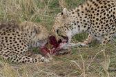 Cheetahs eating fresh raw meat — Stock Photo