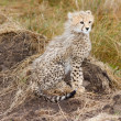 Stock Photo: Cute baby Cheetah cub sitting (closeup)