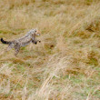 Stock Photo: Cute baby Cheetah cub leaping in hunt for prey