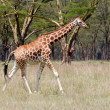 Rothschild Giraffe - Stock Photo