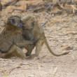Two Baboons hugging each other — Stock Photo #8791820