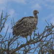 Vulture in acacia tree , Masai mara — Stock Photo