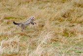 Cute baby Cheetah cub leaping in hunt for prey — Stock Photo