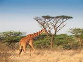 Giraffe walking across savannah — Stock Photo