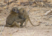 Two Baboons hugging each other — Stock Photo