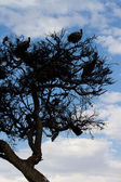 Vultures in acacia tree masai mara — Stock Photo