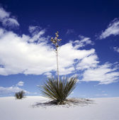 Yucca and White Sands — Foto Stock