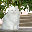 White cat with different coloured eyes — Stock Photo #8371337