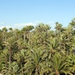 Palm tree forest in Elche, Spain — Stock Photo #8371436