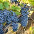 Wine grapes — Stock Photo #8371541