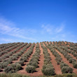 Olive trees — Stock Photo #8429971