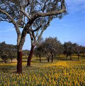 Cork oaks — Stockfoto