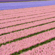 Stock Photo: Field of various colored hyacinths