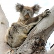 Koala resting on a eucalyptus tree — Stock Photo