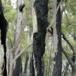 Forest one year after bush fire — Stock Photo #8445746