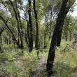 Forest one year after bush fire — Stock Photo #8445770
