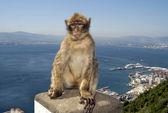 Monkey at Gibraltar — Stock Photo