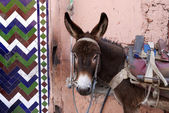 Marrakesh Morocco, urban donkey — Stock Photo