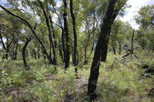 Forest one year after bush fire — Stock Photo