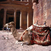 Camel in Petra — Stock Photo