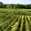 Tobacco plantation — Stock Photo #8517911