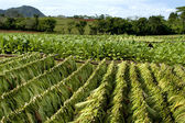 Tobacco plantation — Stock Photo