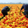 Stock Photo: Tulip pickers