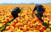 Tulip pickers — ストック写真