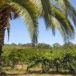 Vineyard with palm tree — Stock Photo