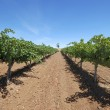 Vineyard in Australia — Stock Photo