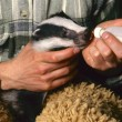 Stock Photo: Orphbadger gets milk