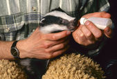 Orphan badger gets milk — Stock Photo