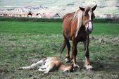 コルトを持つ馬 — ストック写真