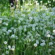 Dandelions — Stock Photo #10534817